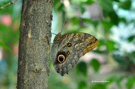 fluturi-tropicali-15