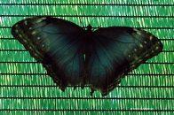 fluturi-tropicali-20