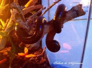Miriapodul gigant african