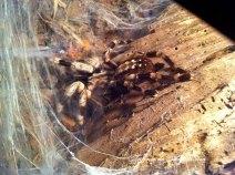 Tarantula de Bengal sau parasuta
