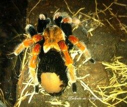 Tarantula cu picioare de foc