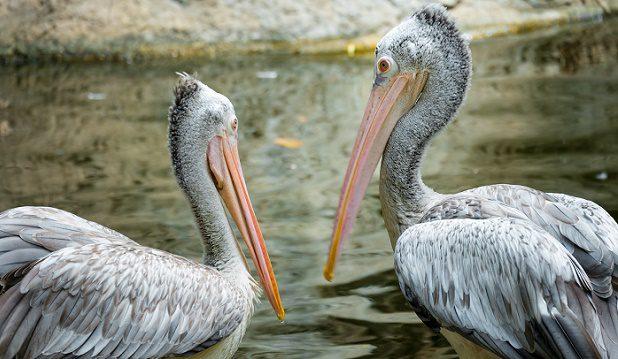 Couple of Pelican