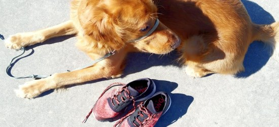 Running with Dogs Header A Golden Retriever and a pair of running shoes