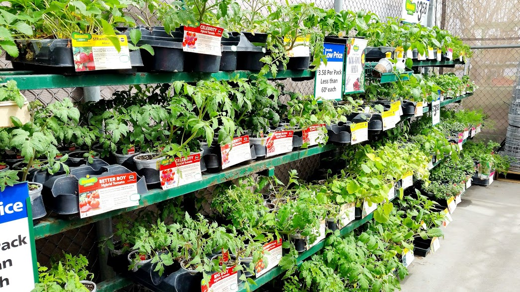 A bunch of vegetable seedlings in a garden center