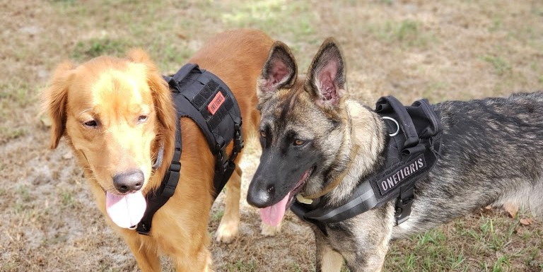 teaching your dog to wear a harness