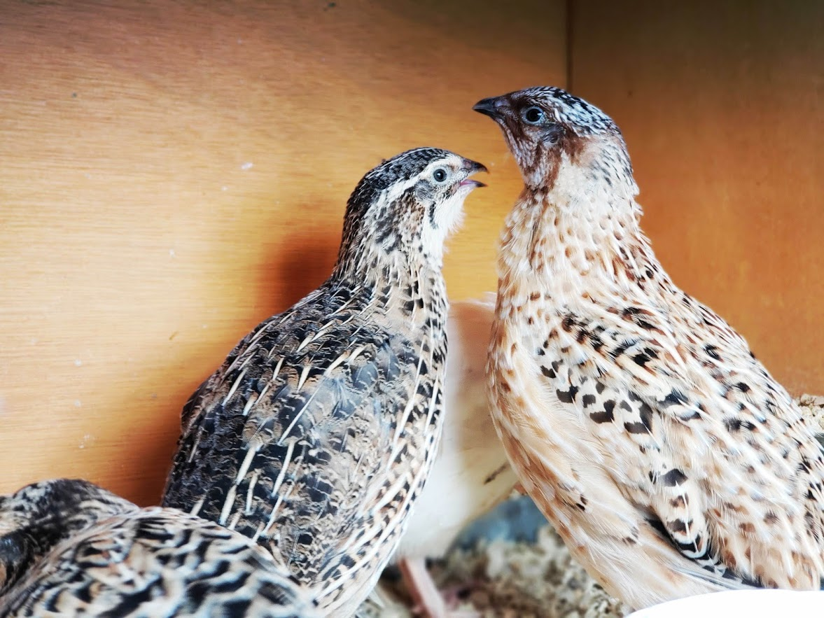 Raising Quail In Your Backyard - Tales From Home