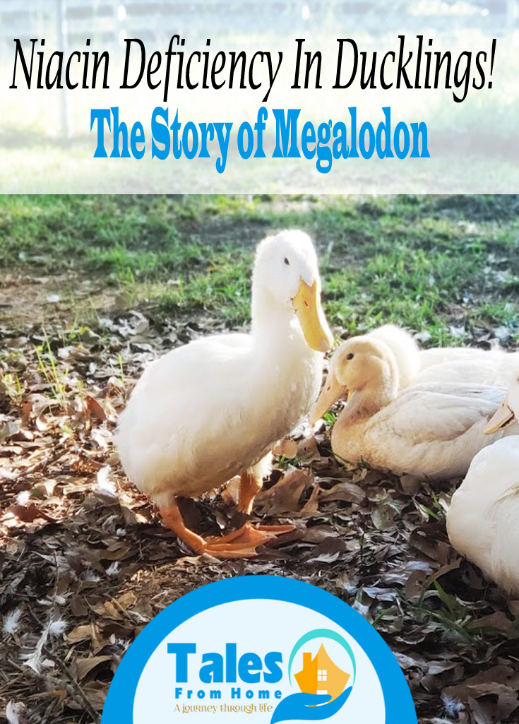 Niacin Deficiency in Ducklings, The story of Megalodon. Niacin Deficiency is a common and troublesome problem in some duck breeds! Our duck Meg as sadly affected, come and read his story and learn about how to prevent it from happening to you! #ducks #ducklings #poultry #selfsufficency #countryliving #pets #farmlife
