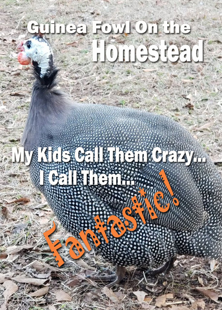 Every animal on our homestead has a purpose and the guinea fowl are no exception. Raising guinea fowl is not overly hard but it does come with some unique and sometimes funny challenges. #guineafowl #guineas #homesteading #poultry #selfsufficiency #homesteaders #countrylife #birds