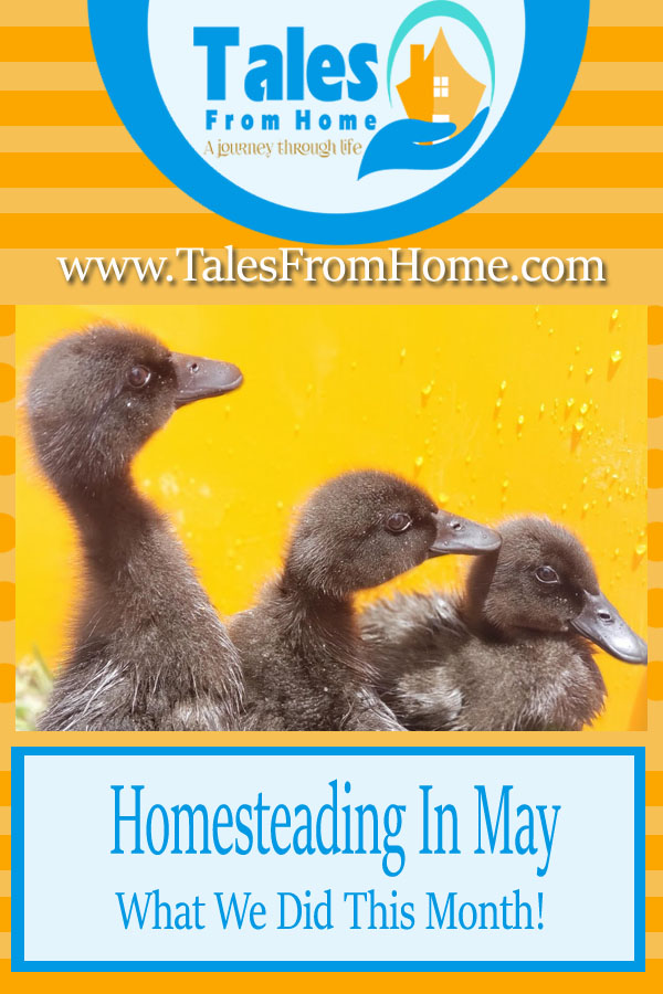 Homesteading In May! Spring has sprung and summer is nearly on us! Here's what we've done this month! #homesteading #homesteader #countryliving #countrylife #blogging #blogger #spring #selfsufficient #selfsufficiency