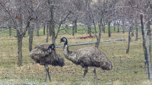 Emu's, proving that the big dog is a chicken