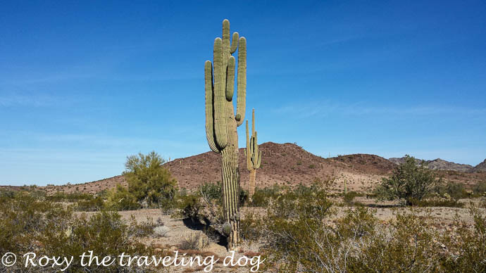 Sand dunes and cactus, saguaro