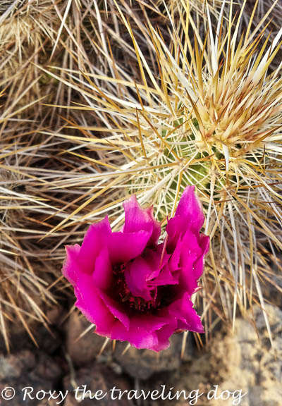 Flowers in the sonoran desert, persevering in life