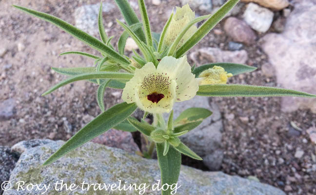 Ghost flower in the sonoran desert, persevering in life