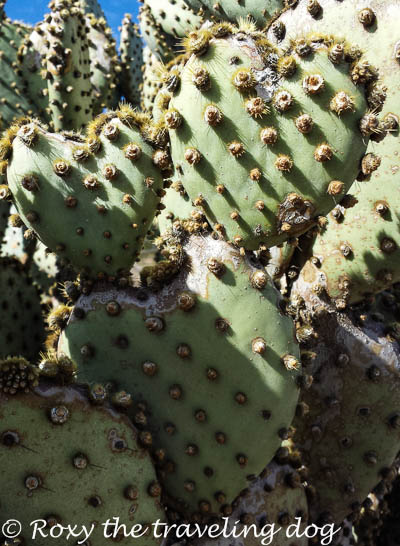 Boondocking near Wickenburg, Arizona, heart shaped prickly pear cactus