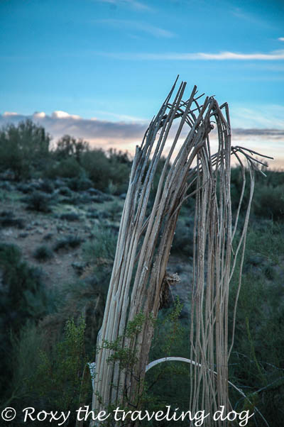Wickenburg desert photos, saguaro cactus ribs, desert
