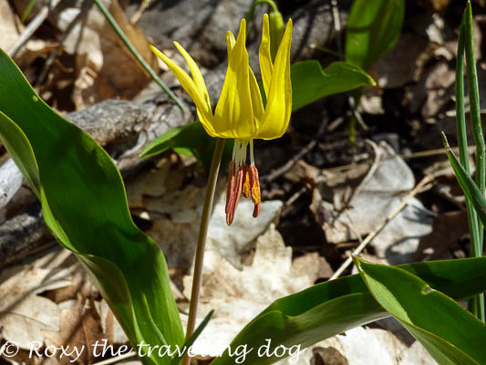 Glacier lily, Snappy H'appy photo challenge #9
