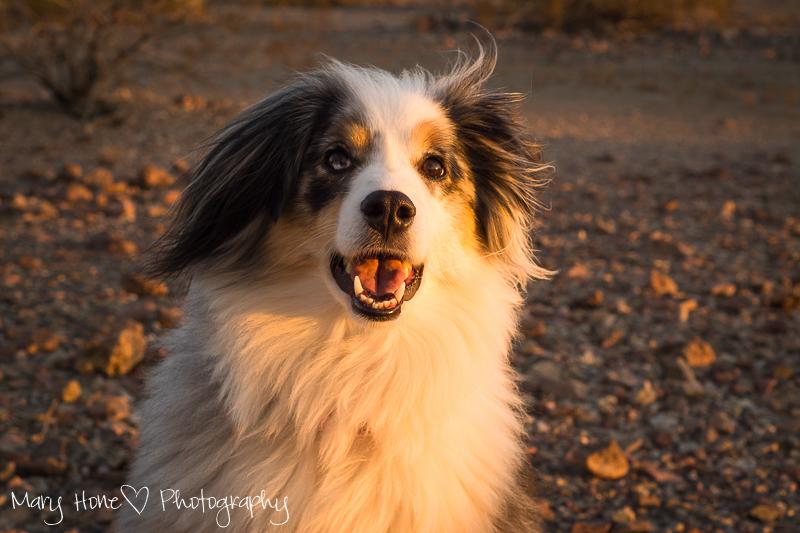 Sacred spirit dog aussie