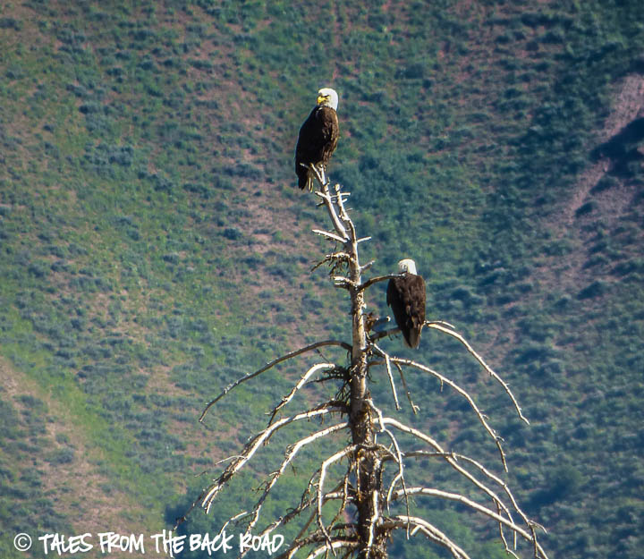 Bald eagles on the Snake river