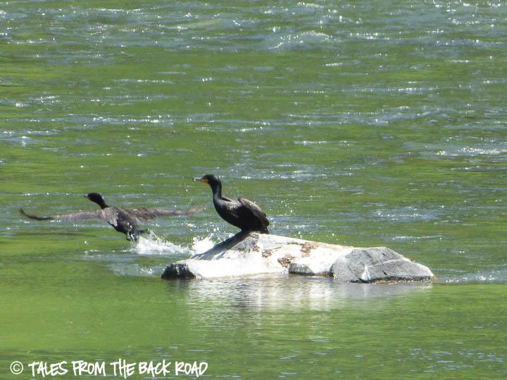 cormorants on the henry's fork river, Idaho
