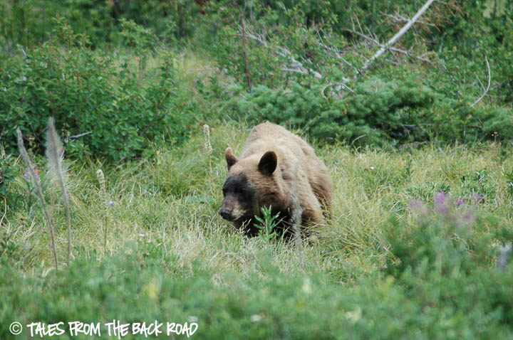 A bear while Hiking in Glacier National Park