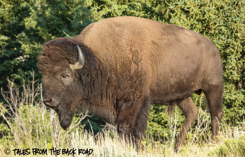 Big male bison