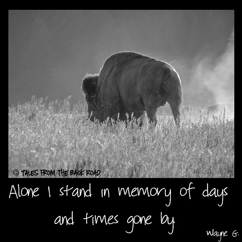 Black and white bison photo