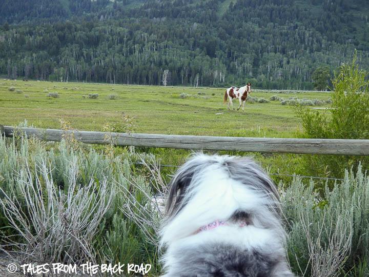 Horses in pasture in Teton village
