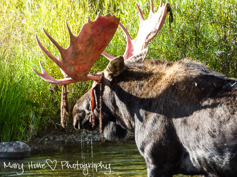 Bull moose in the water (1 of 1)-2