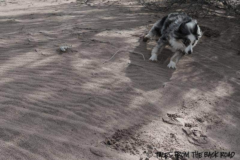 Desert sands, dog in the desert
