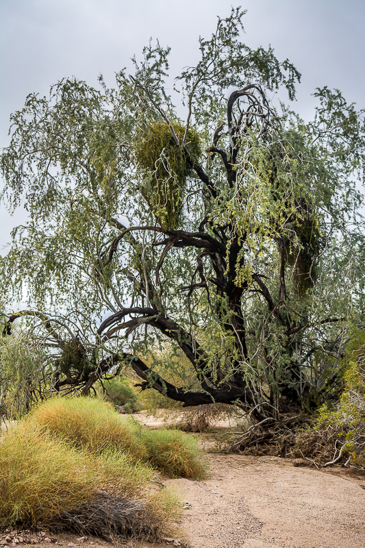 Ironwood tree. Rainy days in the desert