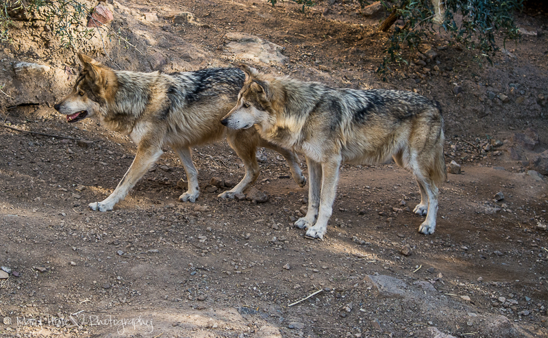 Mexican gray wolves