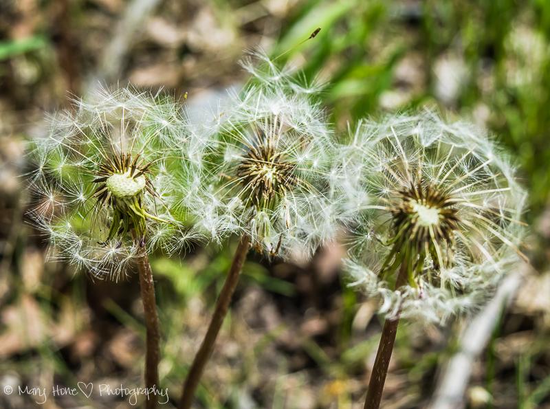 wish on a dandelion