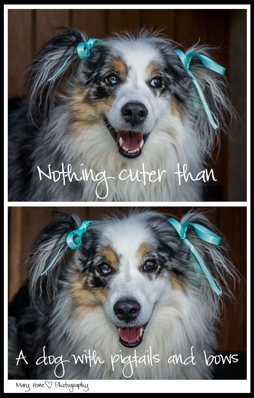 Nothing cuter than a dog in pigtails and bows