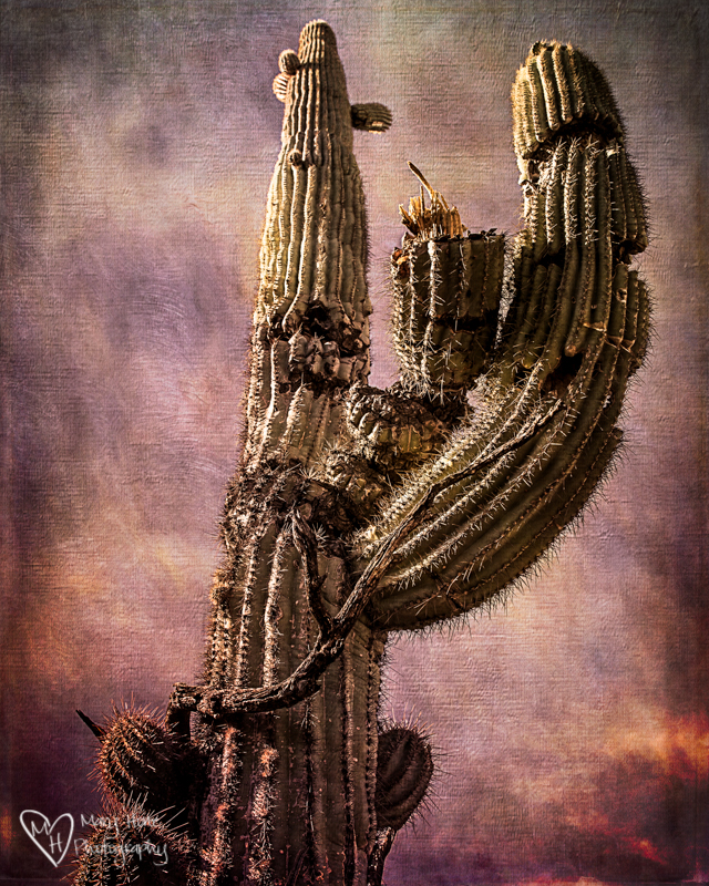Those gnarly old Saguaro