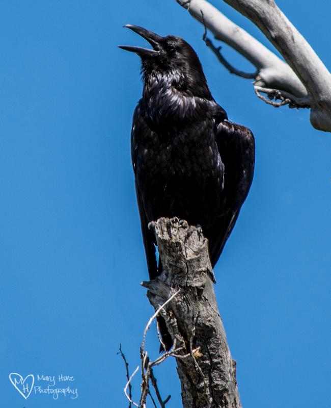 Life imitates art, imitates life. raven photo