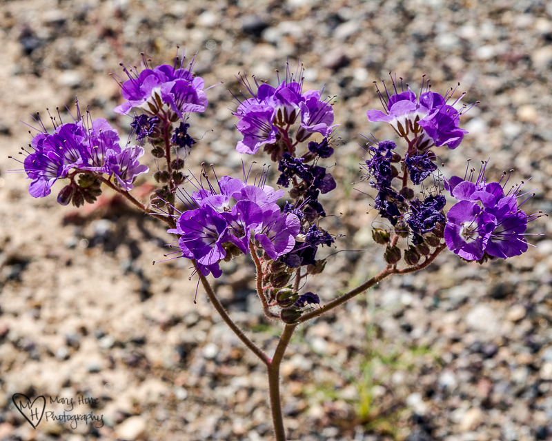 Notchleaf Phacelia Death Valley