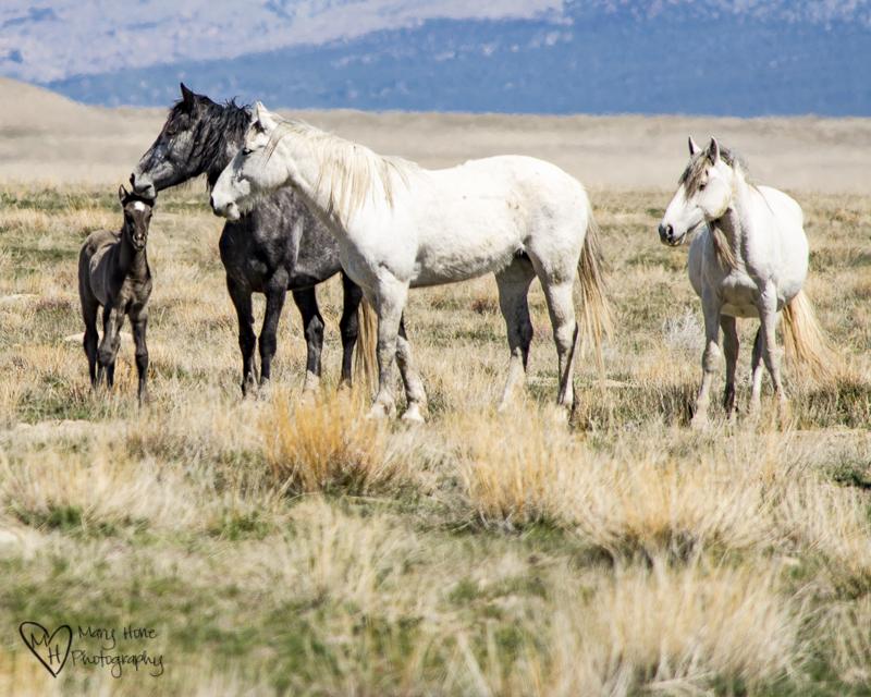 The Future of Wild Horses