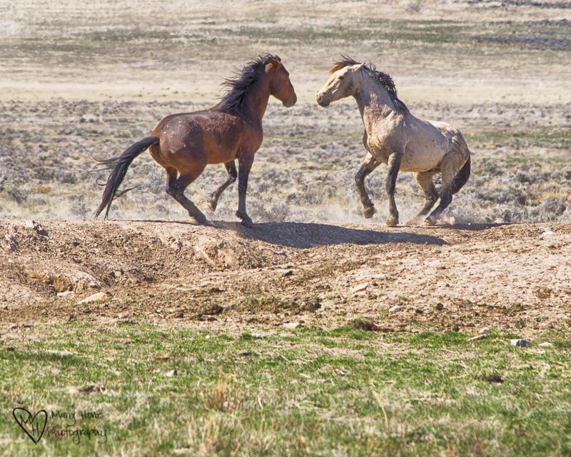 The Future of Wild Horses.