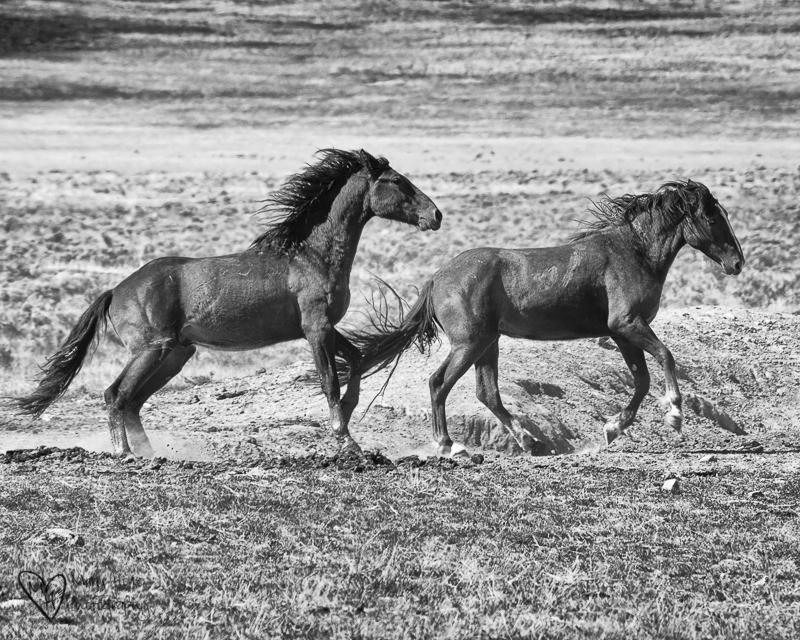 The Future of Wild Horses. Running wild horses