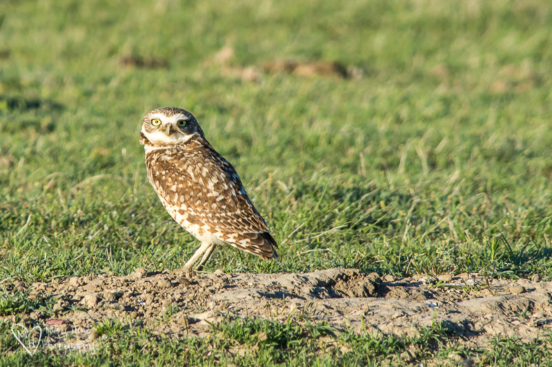 Burrowing owl in Badlands NP