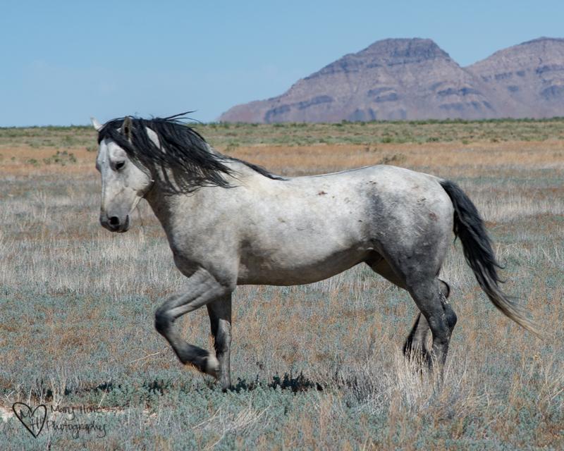 Keep the Wild Horses Wild. Wild stallion