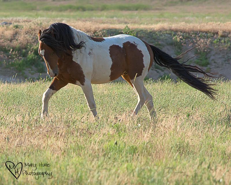 Wild Horse stallion