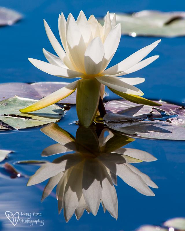 Water lily Seeley Lake, Montana