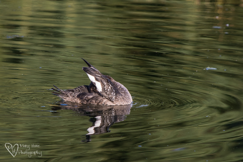 White winged scoter. Little ducky duddle