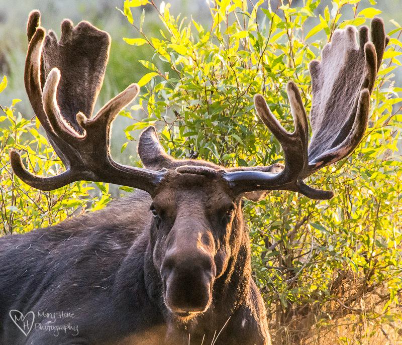 Rare moose antler
