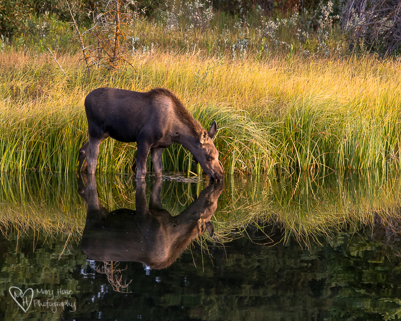 Young Moose in the morning in the water