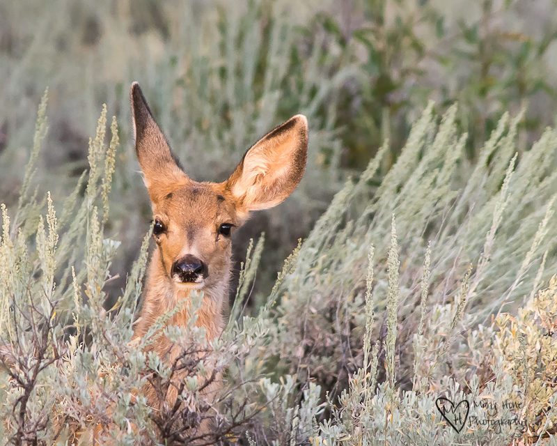 Fawn deer in sagebrush