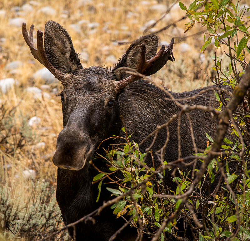 Young bull moose in the rain