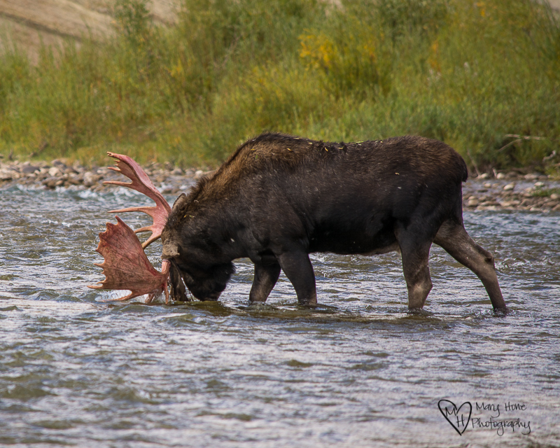 Watching Another Moose Strip his Velvet Covered Antlers. Moose crossing the river