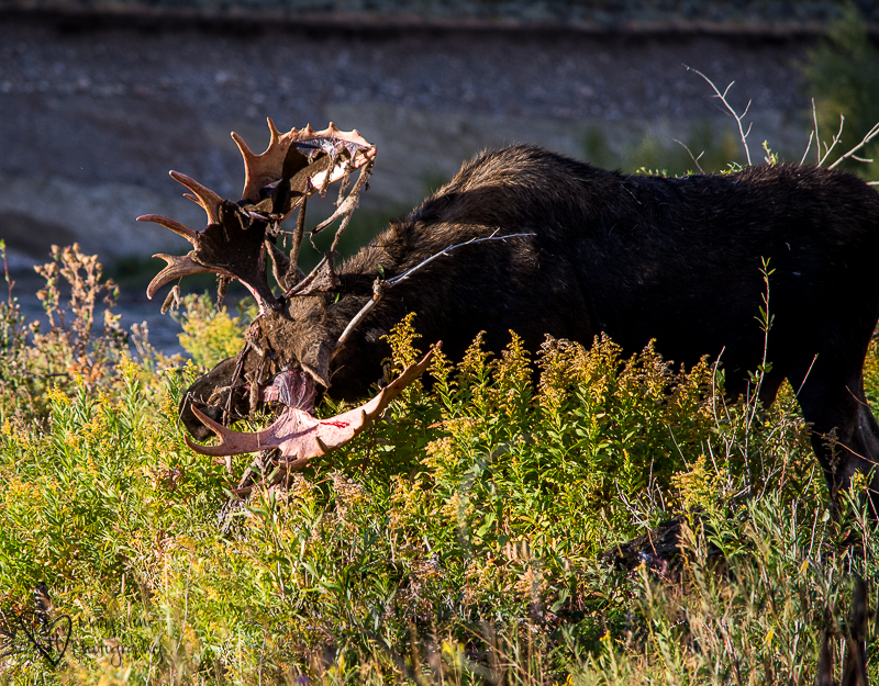 Watching Another Moose Strip his Velvet Covered Antlers